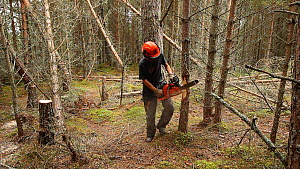 Woodland manager using a chainsaw to ring bark a pine tree in order to create standing dead wood habitat for wildlife, Abernethy Forest RSPB Reserve, Cairngorms National Park, Scotland, UK, September... - Mark  Hamblin / 2020VISION