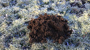 Timelapse of European mole (Talpa europaea) hill appearing on lawn, with Robin (Erithacus rubecula), Inverness-shire, Scotland, UK, March.  -  Mark  Hamblin / 2020VISION