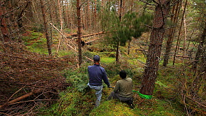 RSPB volunteers using ropes to pull down pine tree as part of woodland management plan to improve habitat for wildlife, Abernethy Forest RSPB Reserve, Cairngorms National Park, Scotland, UK, September...  -  Mark  Hamblin / 2020VISION