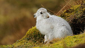 Mountain hare (Lepus timidus) in winter coat, grooming, Cairngorms National Park, Scotland, UK, February.  -  Mark  Hamblin / 2020VISION
