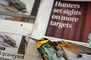 Bee-eater (Merops apiaster) shot in wing by hunter, dead after being euphanised by vet, placed on newspaper which shows article about hunting, BirdLife Malta Springwatch Camp 2013, Malta, April 2013  -  David Tipling