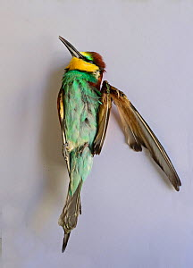 Bee-eater (Merops apiaster) shot in wing by hunter, dead after being euphanised by vet, BirdLife Malta Springwatch Camp 2013, Malta, April 2013  -  David Tipling