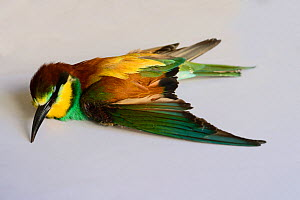 Bee-eater (Merops apiaster) shot in wing by hunter, dead after being euphanised by vet, BirdLife Malta Springwatch Camp, April 2013  -  David Tipling