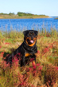 Rottweiler in glasswort and salt grass in salt marsh; Waterford, Connecticut, USA. (Non-ex)  -  Lynn M Stone
