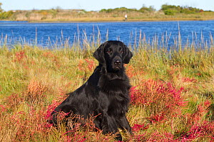 Flat-Coated Retriever in glasswort and salt grass in salt marsh; Waterford, Connecticut, USA. (Non-ex)  -  Lynn M Stone
