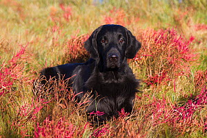 Flat-Coated Retriever in glasswort and salt grass in salt marsh, Waterford, Connecticut, USA. (Non-ex)  -  Lynn M Stone