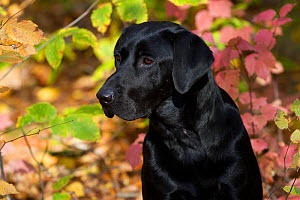 Black Labrador Retriever against autumn foliage;  Connecticut, USA - Lynn M Stone