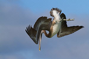 Eastern Brown Pelican (Pelecanus occidentalis) sub-adult, launching into dive, over Gulf of Mexico; Pinellas County, Florida, USA, November  -  Lynn M Stone