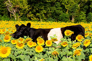 Belted Galloway Cow in sunflowers; Pecatonica, Illinois, USA - Lynn M Stone