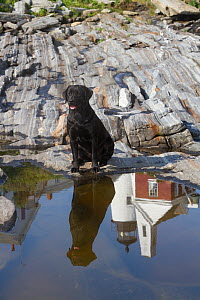 Black Labrador Retriever, female, sitting by tidal pool with reflection of Pemaquid Lighthouse; Pemaquid, Maine, USA, July 2012 - Lynn M Stone