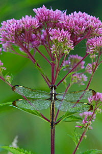 Spangled Skimmer (Libellula incesta) covered with beads of dew, on stem of Joe-Pye Weed, in wetland; North Guilford, Connecticut, USA, July  -  Lynn M Stone