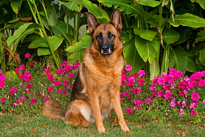 German Shepherd Dog, female, in garden; Illinois, USA. (non-ex)  -  Lynn M Stone