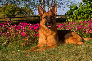 German Shepherd Dog, female, lying in garden with early autumn flowers; Geneva, Illinois, USA  -  Lynn M Stone