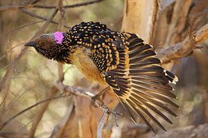 Western Bowerbird (Chlamydera guttata) perched in bush near bower, stretching wing, Alice Springs, Central Australia, June  -  Mike Potts