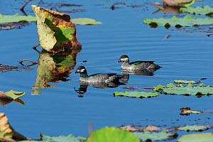 Green Pygmy Goose (Nettapus pulchellus) pair in swimming between lily pads, Kakadu National Park, Northern Territory, Australia, July  -  Mike Potts