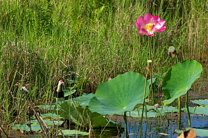 Comb Crested Jacana (Irediparra gallinacea) feeding in among the lotus flowers with a chick. Kakadu National Park, Northern Territory, Australia, July - Mike Potts