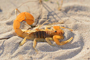 Yellow fat-tailed scorpion (Parabuthus granulatus) DeHoop Nat res. Western Cape, South Africa, December  -  Tony Phelps
