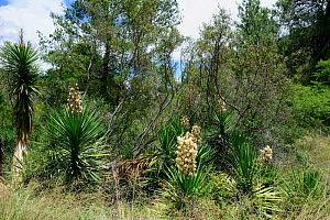 Yucca (Yucca filamentosa) invasive to South Africa. growing waterside, Little Karoo, Western Cape, South Africa, January  -  Tony Phelps