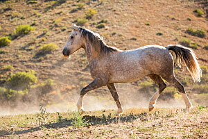 Wild horse / mustang called Mica, rounded up from Adobe Town Herd Management Area in Wyoming and adopted by photographer Carol Walker. Walking in pasture, Colorado, USA.  -  Carol Walker