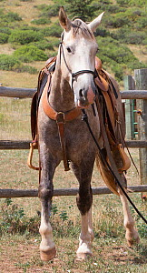 Wild horse / mustang called Mica, rounded up from Adobe Town Herd Management Area in Wyoming and adopted by photographer Carol Walker. Wearing a saddle for the first time, Colorado, USA.  -  Carol Walker