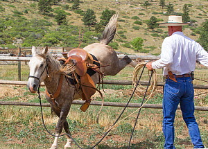 Wild horse / mustang called Mica, rounded up from Adobe Town Herd Management Area in Wyoming and adopted by photographer Carol Walker. Wearing a saddle for the first time, with trainer Rich Scott. Col...  -  Carol Walker
