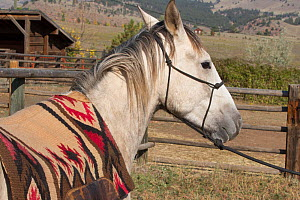 Wild horse / mustang called Mica, rounded up from Adobe Town Herd Management Area in Wyoming and adopted by photographer Carol Walker. Preparing to be saddled and ridden for the first time, Colorado,...  -  Carol Walker