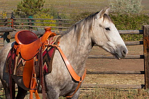 Wild horse / mustang called Mica, rounded up from Adobe Town Herd Management Area in Wyoming and adopted by photographer Carol Walker. Saddled and preparing to be ridden for the first time, Colorado,...  -  Carol Walker