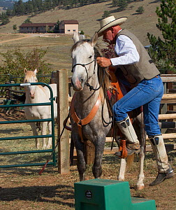 Wild horse / mustang called Mica, rounded up from Adobe Town Herd Management Area in Wyoming and adopted by photographer Carol Walker. With trainer Rich Scott, saddled and preparing to be ridden for t...  -  Carol Walker