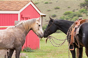 Wild horse / mustang called Mica, rounded up from Adobe Town Herd Management Area in Wyoming and adopted by photographer Carol Walker. Touching noses with a mare belonging to trainer Rich Scott. Color...  -  Carol Walker