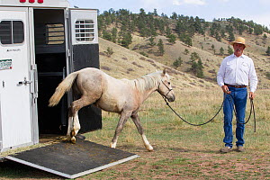 Wild horse / mustang called Mica, rounded up from Adobe Town Herd Management Area in Wyoming and adopted by photographer Carol Walker. Being led out of his trailer by trainer Rich Scott, arriving at C...  -  Carol Walker