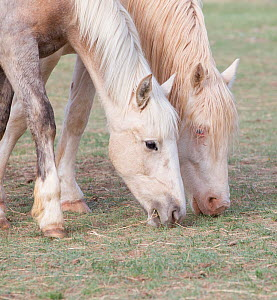 Wild horses / mustangs. Mica (left), rounded up from Adobe Town Herd Management Area in Wyoming and Claro (right), rounded up from McCullough Peak herd. Both adopted by photographer Carol Walker. Meet...  -  Carol Walker