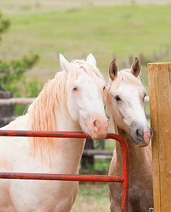 Wild horses / mustangs. Mica (right), rounded up from Adobe Town Herd Management Area in Wyoming and Claro (left), rounded up from McCullough Peak herd. Both adopted by photographer Carol Walker. Colo...  -  Carol Walker
