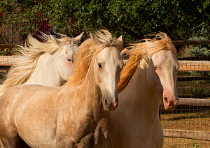 Claro, Cremosso and Mica, three wild horses / mustangs rounded up from the McCullough Peak herd and Adobe Town Herd in Wyoming, adopted by photographer Carol Walker. Running in their corral, Colorado,...  -  Carol Walker