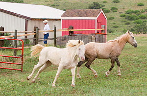 Wild horses / mustangs. Mica (right), rounded up from Adobe Town Herd Management Area in Wyoming and Cremosso (left), rounded up from McCullough Peak herd. Both adopted by photographer Carol Walker. M...  -  Carol Walker