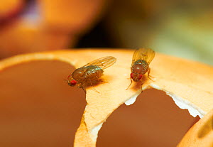 Fruit flies (Drosophila melanogaster) on egg-shell, England, UK, August  -  Stephen Dalton