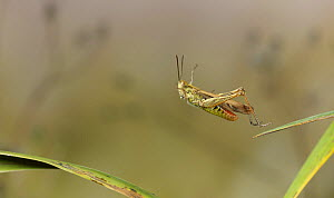 Common field grasshopper (Chorthippus brunneus) leaping, Sussex, England  -  Stephen Dalton