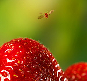 Fruit fly (Drosophila melanogaster) in flight having just taken-off from strawberry, controlled conditions.  -  Stephen  Dalton