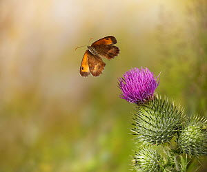 Gatekeeper (Pyronia tithonus) in flight taking off from spear thistle, controlled conditions - Stephen Dalton
