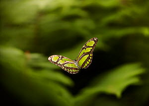 Green heliconid butterfly (Philaethria dido) in flight, controlled conditions, from South America - Stephen Dalton