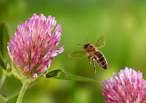 Honeybee (Apis mellifera) taking-off from red clover, controlled conditions.  -  Stephen  Dalton