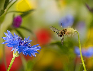 Horse fly (Tabanus sp) male in flight towards cornflower, controlled conditions.  -  Stephen Dalton