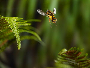 Hover fly (Helophilus pendulus) taking-off, controlled conditions. - Stephen Dalton