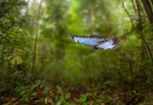 Morpho butterfly (Morpho peleides) in flight, controlled conditions.  -  Stephen Dalton