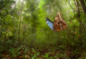 Blue morpho (Morpho peleides) in flight, controlled conditions, from South America - Stephen Dalton