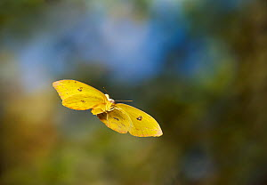 Orange barred sulphur (Phoebis philea) in flight, controlled conditions, from the Caribbean - Stephen Dalton