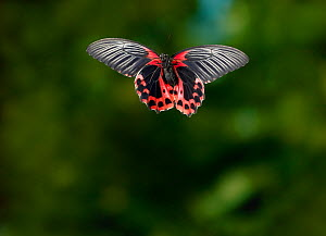 Scarlet mormon (Papilio rumanzovia) in flight controlled conditions, from the Philippines - Stephen Dalton