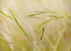 Meadow grasshopper (Chorthippus parallelus) leaping, controlled conditions. - Stephen Dalton