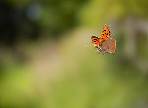 Small copper (Lycaena phlaeas) flying, England, controlled conditions. - Stephen Dalton