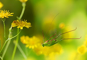 Speckled bush cricket (Leptophytes punctatissima) leaping, Sussex, England. Controlled conditions.  -  Stephen Dalton