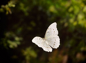 White morpho (Morpho polythemus) in flight~controlled condtiions, from South American Rainforest  -  Stephen Dalton